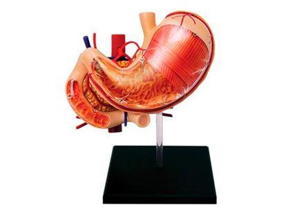 modelo-anatomico-del-estomago-humano-y-otros-organos-x-12-piezas-2-4893409260658