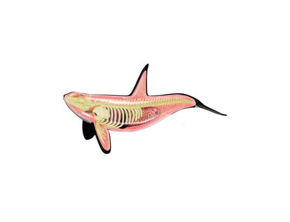 modelo-anatomico-4d-de-orca-x-16-piezas-1-4893409260993