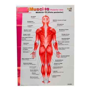 lamina-del-sistema-muscular-de-50-cm-x-70-cm-1-7707194152821