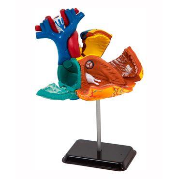 modelo-anatomico-de-31-piezas-corazon-4893338260095